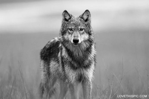 wolf pictures for kids free printable wolf coloring pages for kids cartoon wolf for pictures wolf kids