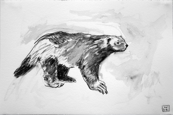wolverine animal drawing trends for cool wolverine animal drawing images drawing animal wolverine