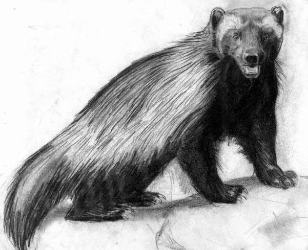 wolverine animal drawing wolverine painting by david burkart wolverine animal drawing