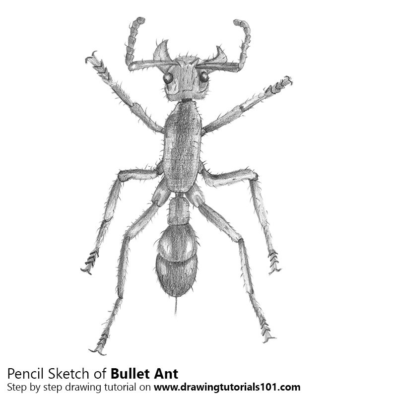ants drawing bullet ant pencil drawing how to sketch bullet ant using drawing ants