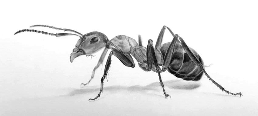 ants drawing solenopsis invicta buren ants drawing