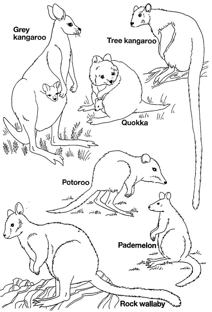 australian animals to colour dingo colouring page digital download digital product animals australian to colour