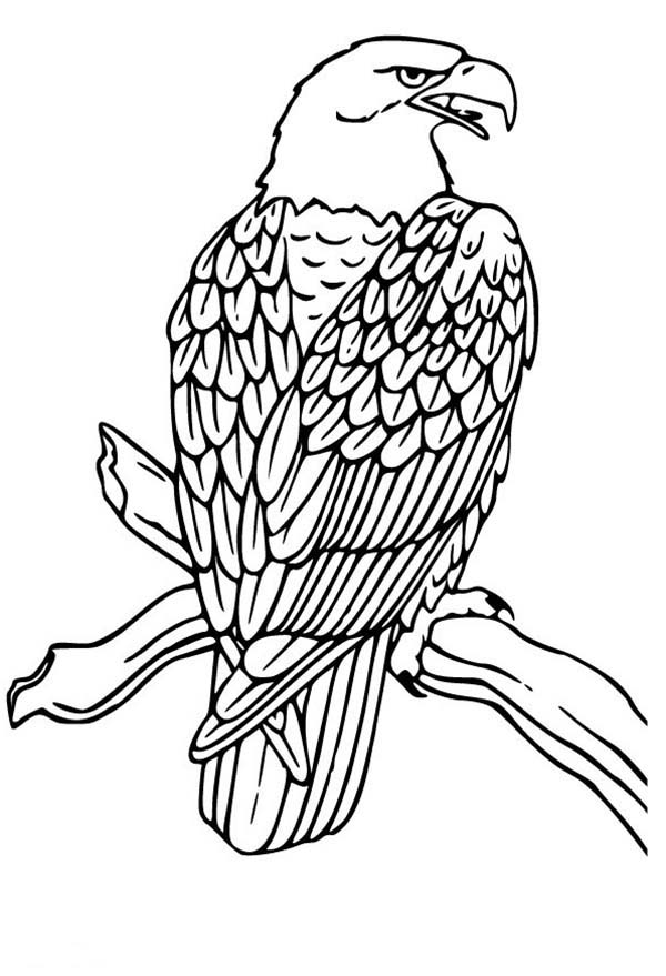 bald eagle coloring pictures free printable bald eagle coloring pages for kids eagle pictures coloring bald