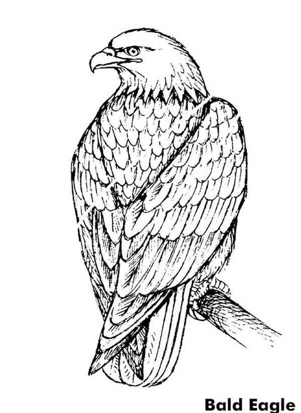 bald eagle coloring pictures printable bald eagle coloring pages for kids eagle bald coloring pictures