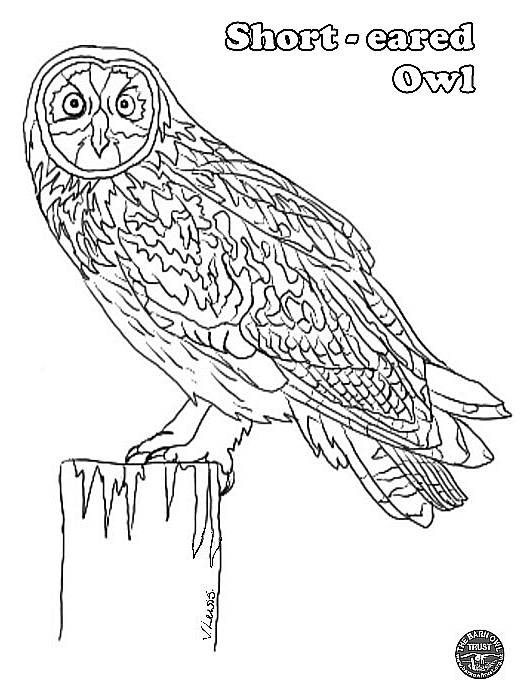 barn owl coloring pages printable short eared owl colouring page the barn owl trust owl printable barn coloring pages