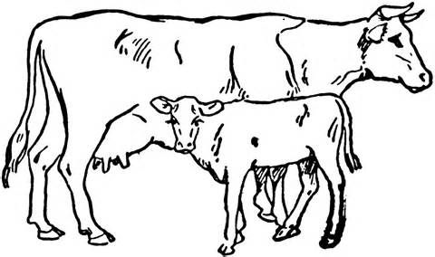 beef cow coloring pages angus beef cow coloring pages coloring pages cow beef coloring cow pages