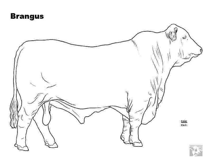 beef cow coloring pages beef cattle pages coloring pages pages beef cow coloring