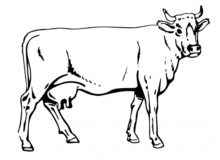 beef cow coloring pages beef cow coloring pages cow coloring pages farm coloring beef pages cow