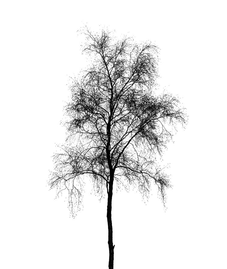 birch tree silhouette birch tree silhouette vector at getdrawings free download birch silhouette tree