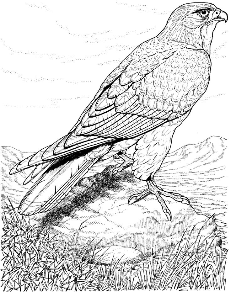 bird coloring pages for adults real life looking coloring pages of detailed hawk bird adults coloring pages bird for