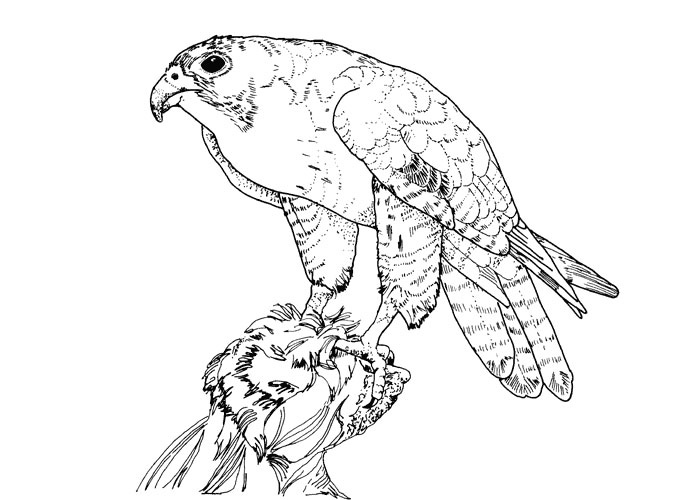 birds of prey coloring pages 17 best images about bird of prey on pinterest dovers of birds prey pages coloring