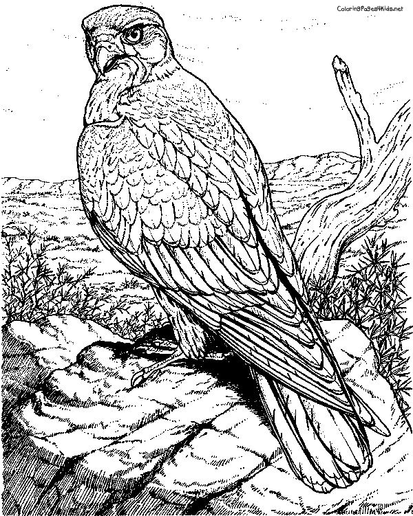 birds of prey coloring pages adult coloring book birds of prey of birds pages prey coloring