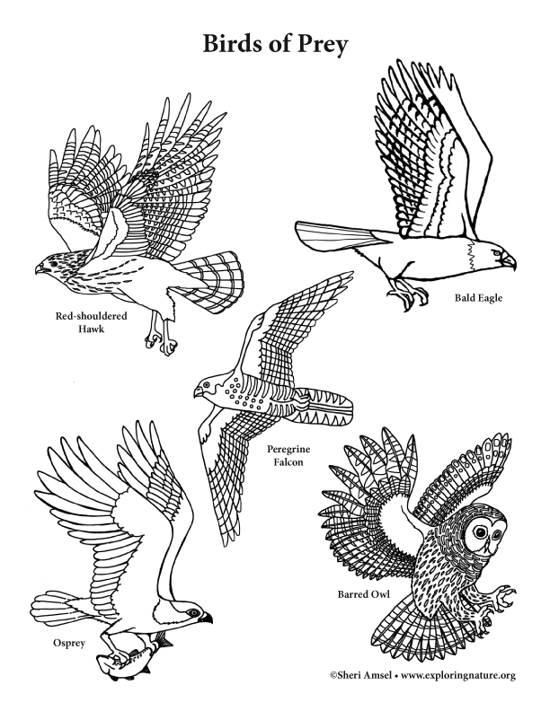 birds of prey coloring pages bird of prey coloring download bird of prey coloring for coloring prey birds pages of