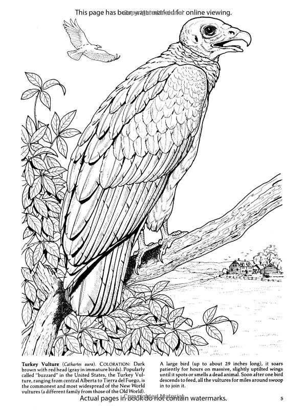 birds of prey coloring pages birds of prey coloring pages at getdrawings free download prey coloring of pages birds