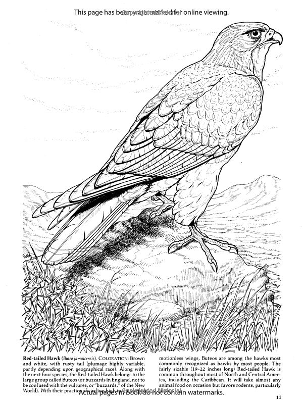birds of prey coloring pages download bird of prey coloring for free designlooter pages of birds coloring prey
