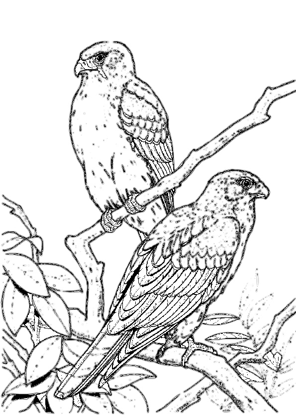 birds of prey coloring pages pin by eva stovall on birds pencil drawings bird of prey birds pages coloring