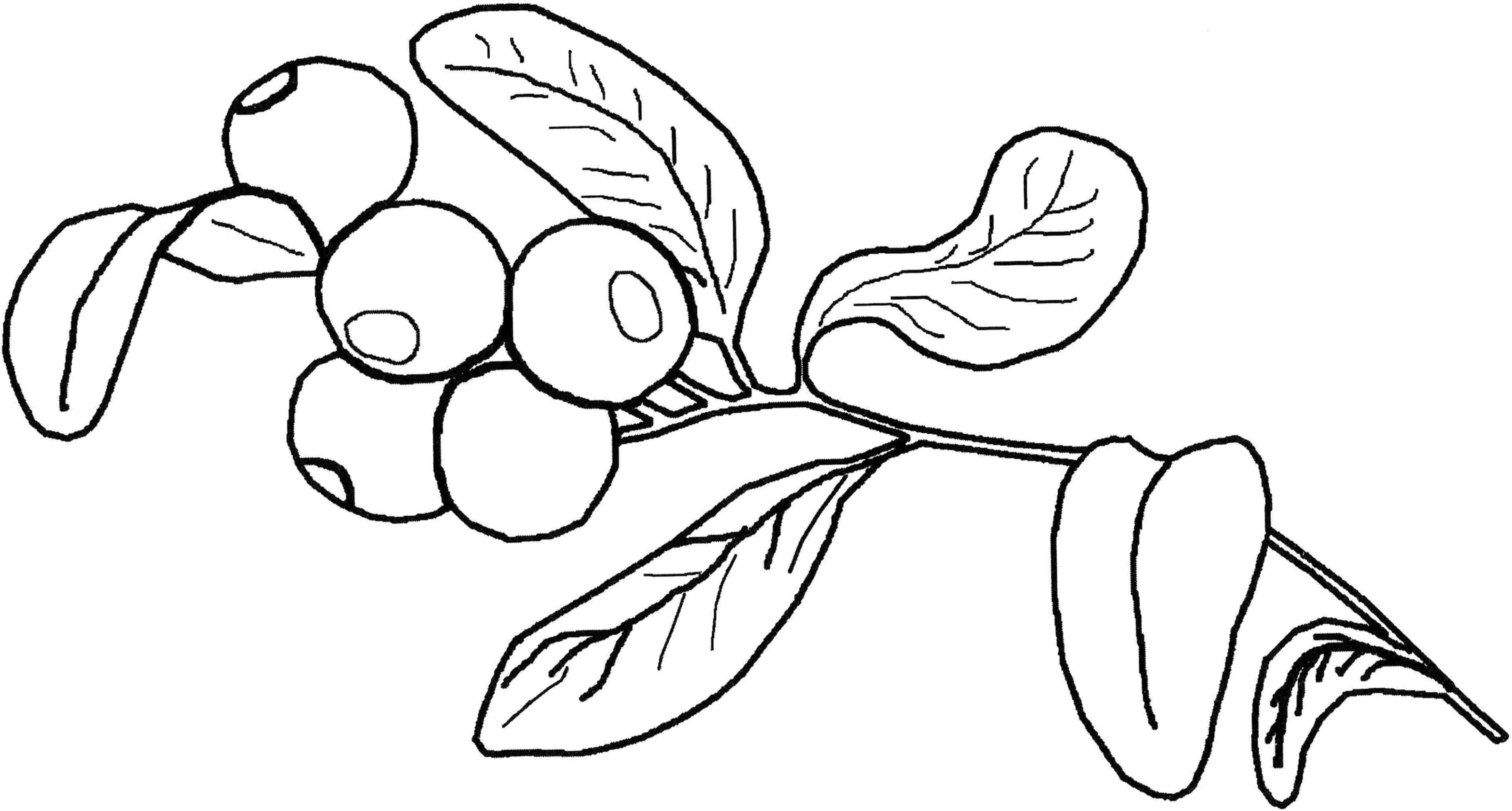 blueberry coloring page blueberries coloring pages coloring pages to download coloring page blueberry 1 1
