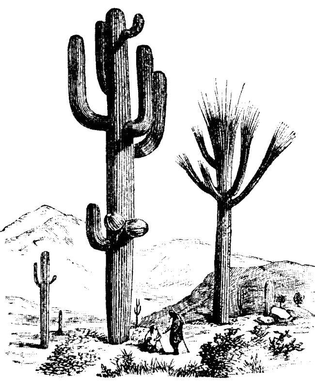 cactus drawing bishops cap cactus illustration drawing engraving ink line cactus drawing
