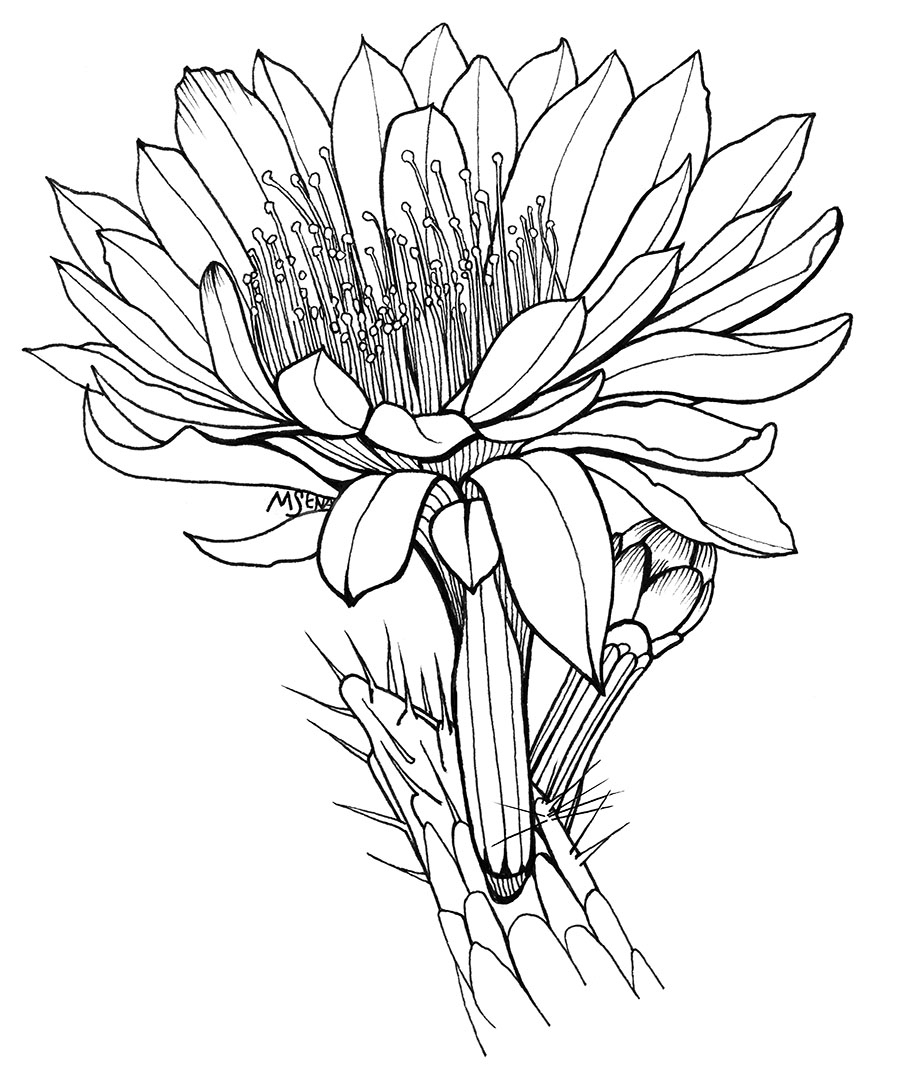 cactus drawing cactus line drawing at getdrawings free download cactus drawing