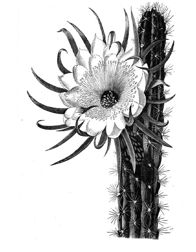 cactus drawing saguaro illustration paul mirocha design and cactus drawing