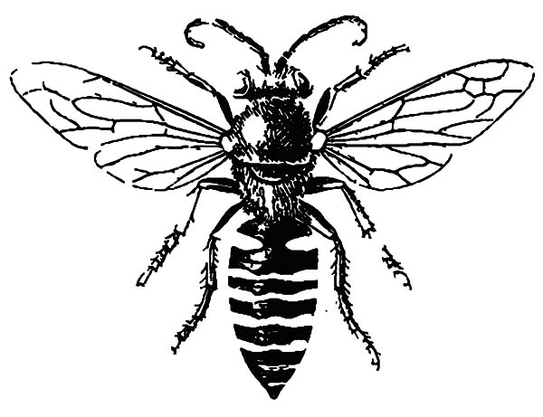 coloring bee male honey bee coloring pages coloring sky bee coloring