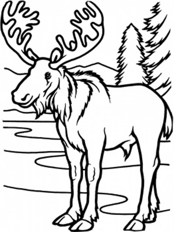coloring moose moose coloring pages to download and print for free coloring moose