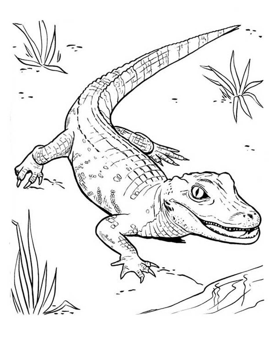 coloring page alligator alligator line drawing at getdrawings free download coloring alligator page