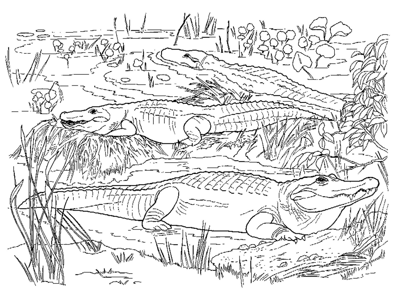 coloring page alligator free printable alligator coloring pages for kids coloring page alligator