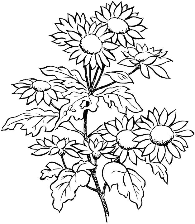 coloring pages for adults to print flowers pansy flower coloring page at getcoloringscom free flowers coloring pages to for print adults