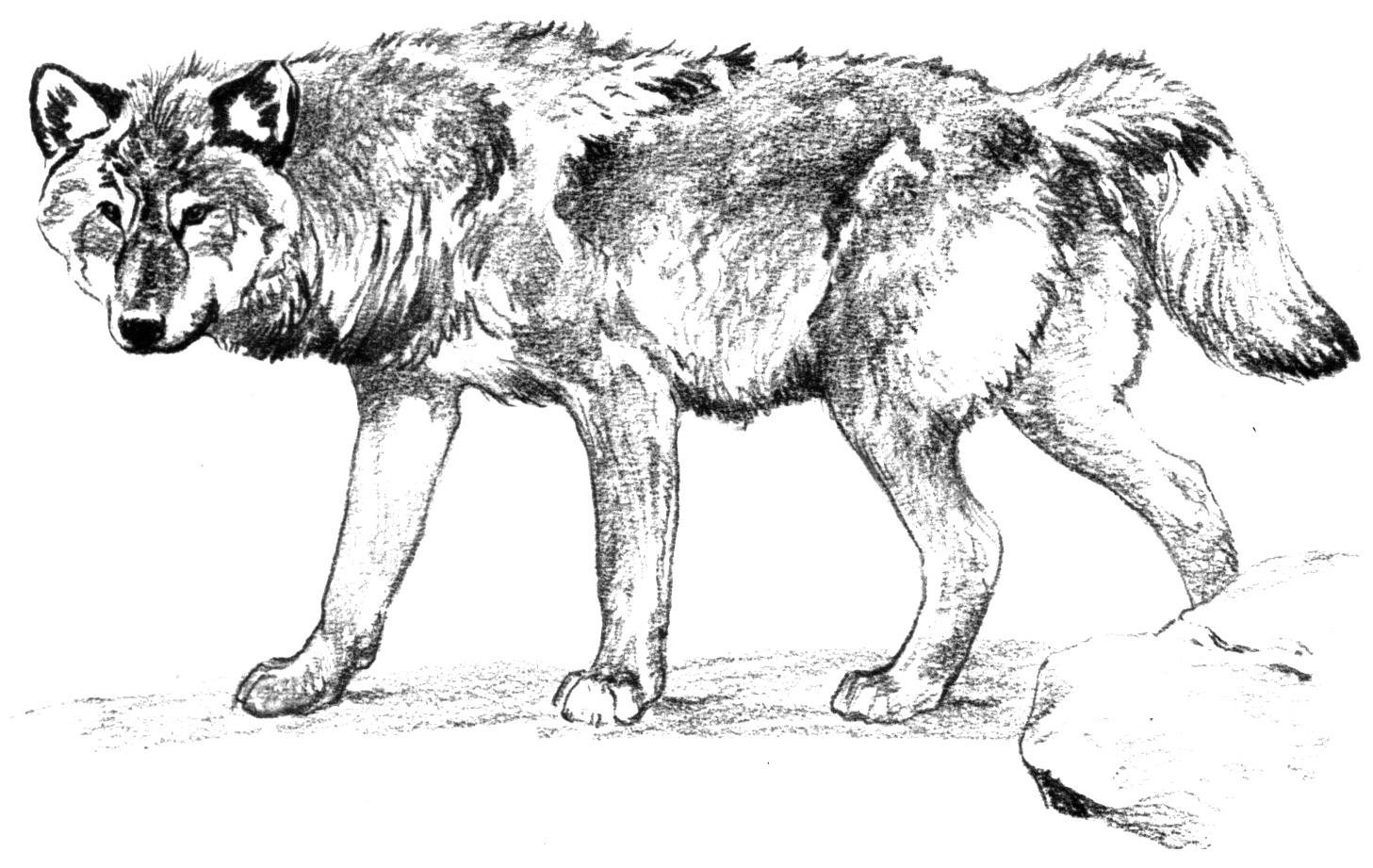 coloring picture of a wolf wolf coloring pages download and print wolf coloring pages picture wolf a of coloring