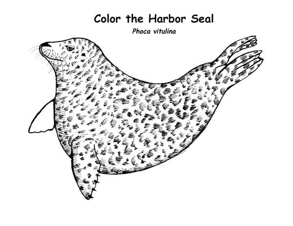 coloring seal 21 seal templates crafts colouring pages free coloring seal