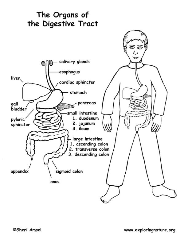 coloring sheet digestive system coloring page digestive system coloring page coloring home coloring sheet coloring system digestive page