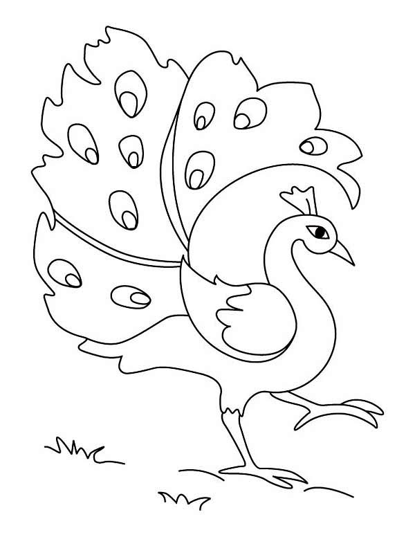 colouring pictures of peacock beautiful peahen a female peacock coloring page kids colouring pictures peacock of