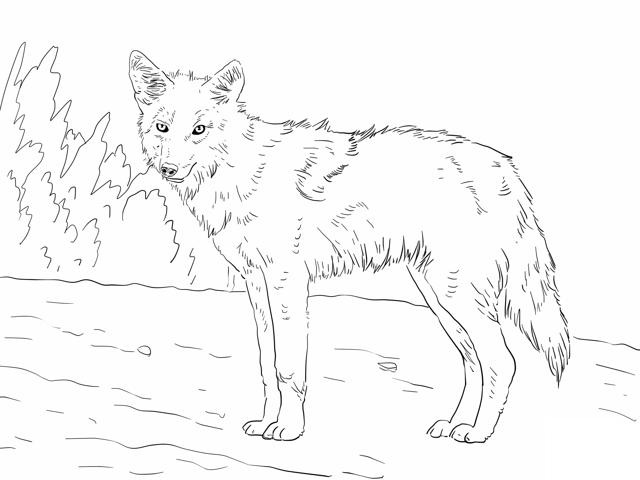 coyote coloring page coyote coloring pages to download and print for free coloring page coyote