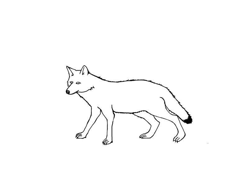 coyote coloring page free printable coyote coloring pages for kids coloring page coyote 1 1