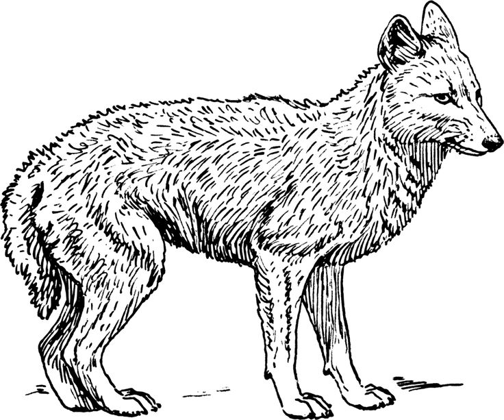 coyote coloring page howling coyote coloring page free printable coloring pages coloring coyote page