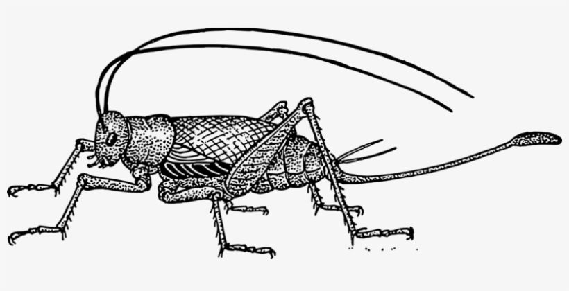 cricket drawing cricket drawing free download on clipartmag cricket drawing
