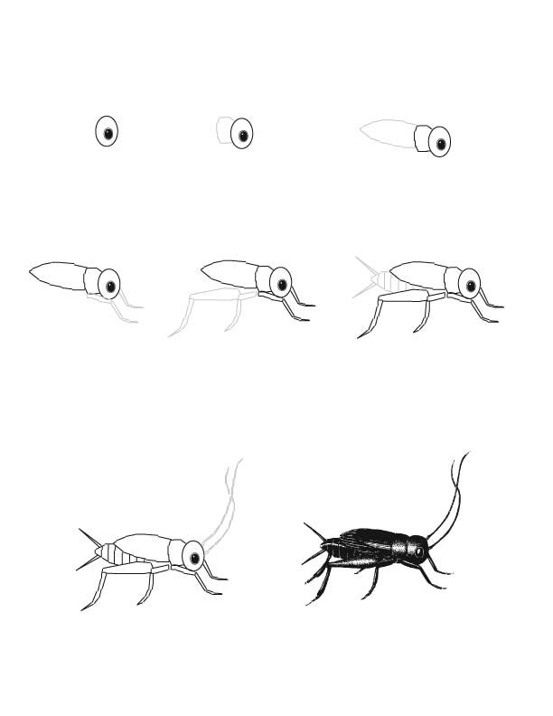 cricket drawing cricket drawing lesson wwwexploringnatureorg excellent cricket drawing
