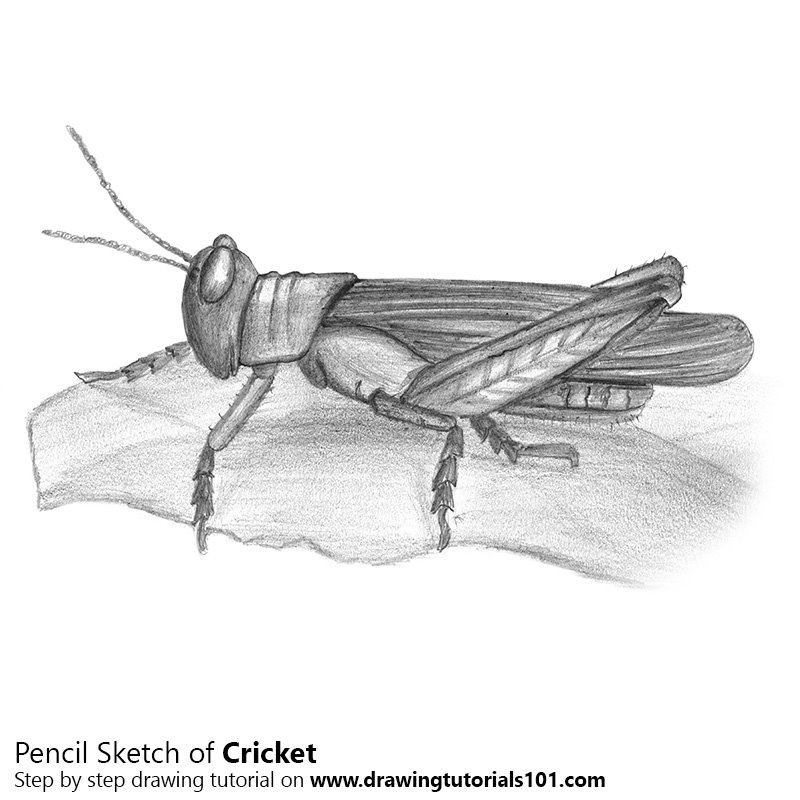 cricket drawing cricket pencil drawing how to sketch cricket using drawing cricket