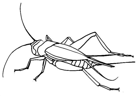cricket drawing how to draw a cricket cricket drawing 1 1
