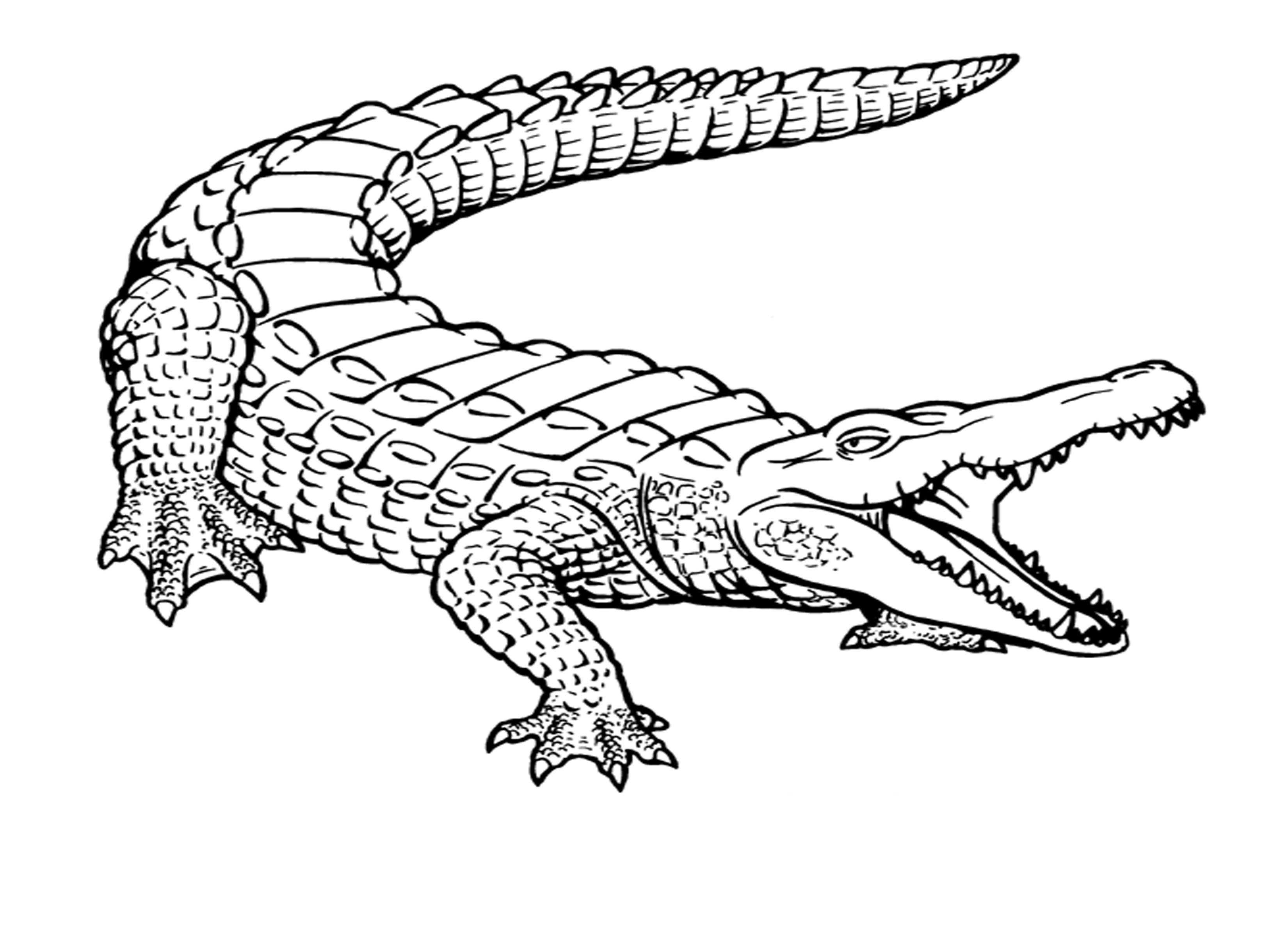 crocodile pictures to color free alligator coloring pages at getdrawings free download crocodile color to pictures
