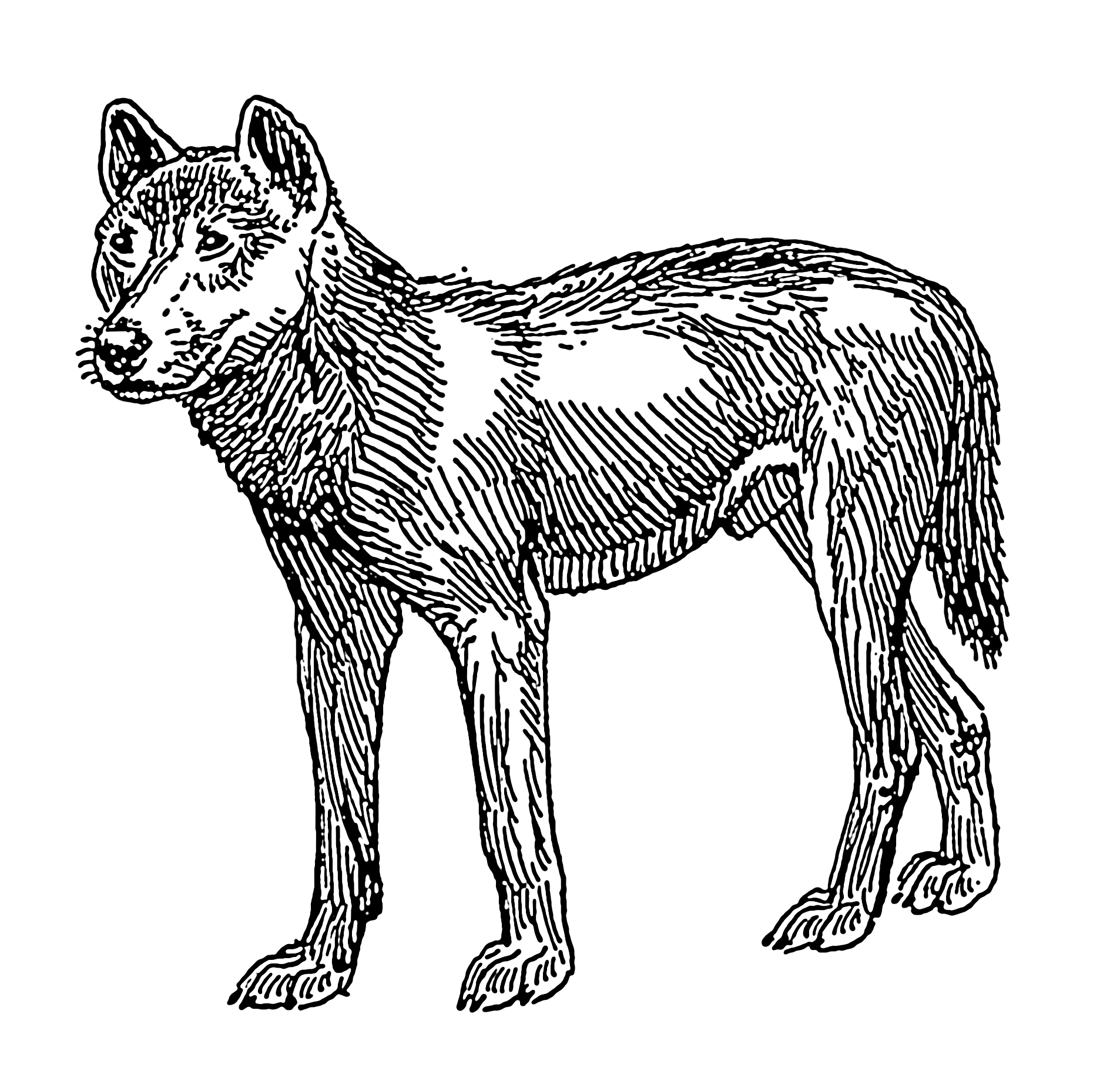 drawing of a dingo dingo drawing at getdrawings free download dingo drawing a of