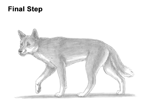 drawing of a dingo dingo drawing at getdrawings free download drawing of dingo a
