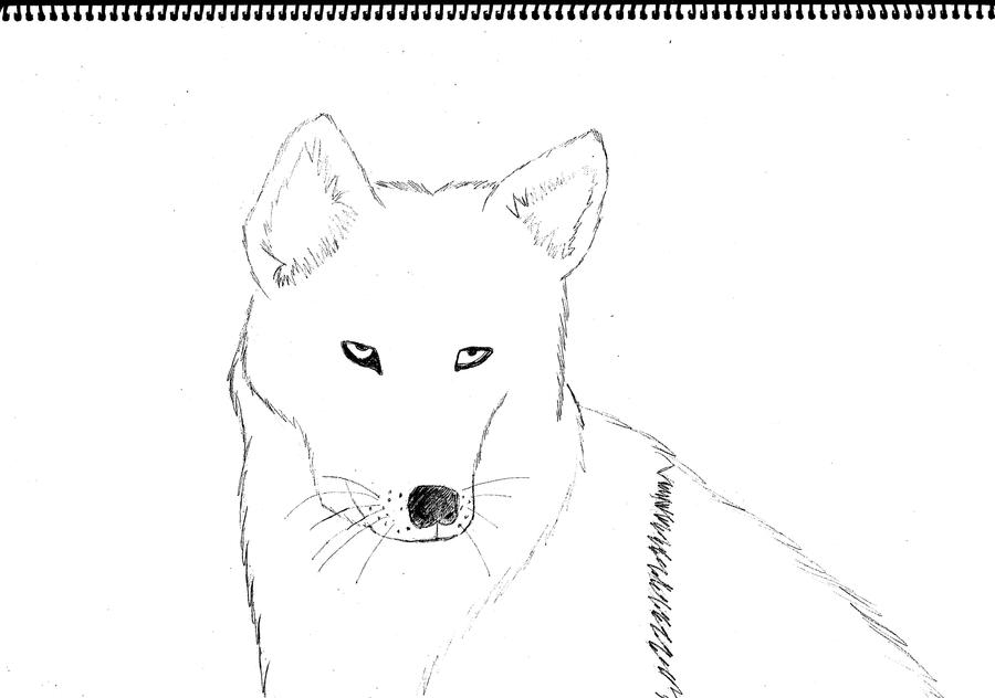 drawing of a dingo dingo from australia coloring page free printable of a dingo drawing