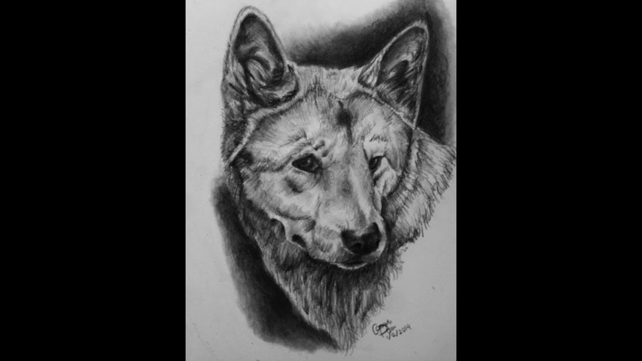 drawing of a dingo drawing pencil portraits pencil drawing of dingo dog drawing of a dingo
