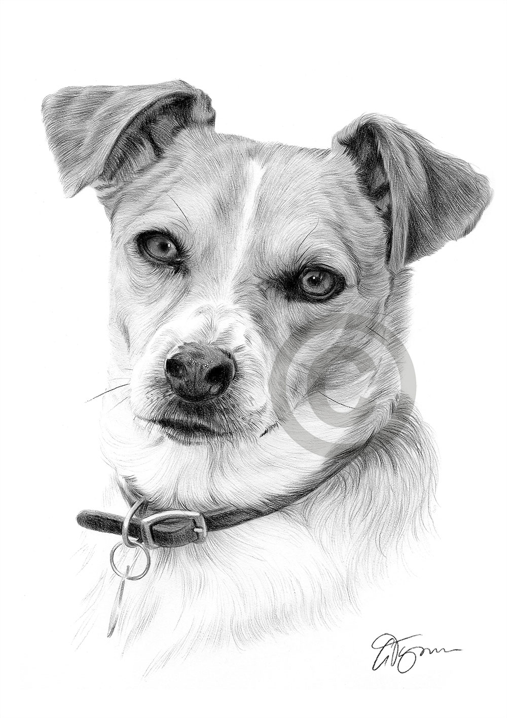 drawings of jack russells commission jack russell terrier by captured in pencil on russells drawings of jack