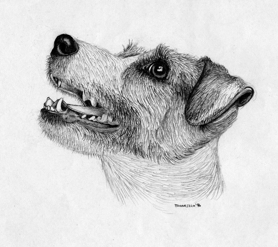 drawings of jack russells jack russell puppy dog pencil drawing art print a3 a4 russells drawings jack of