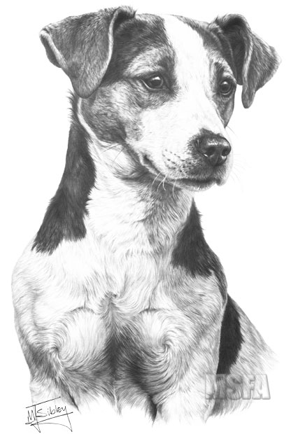 drawings of jack russells jack russell terrier pencil drawing art print a4 only russells drawings of jack