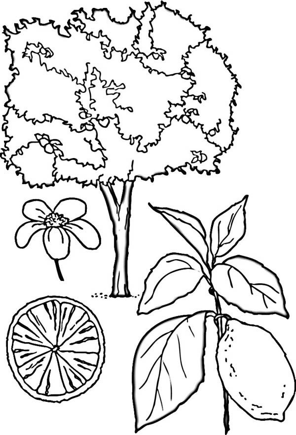 fruit tree coloring page cherry tree coloring pages fruit page tree coloring