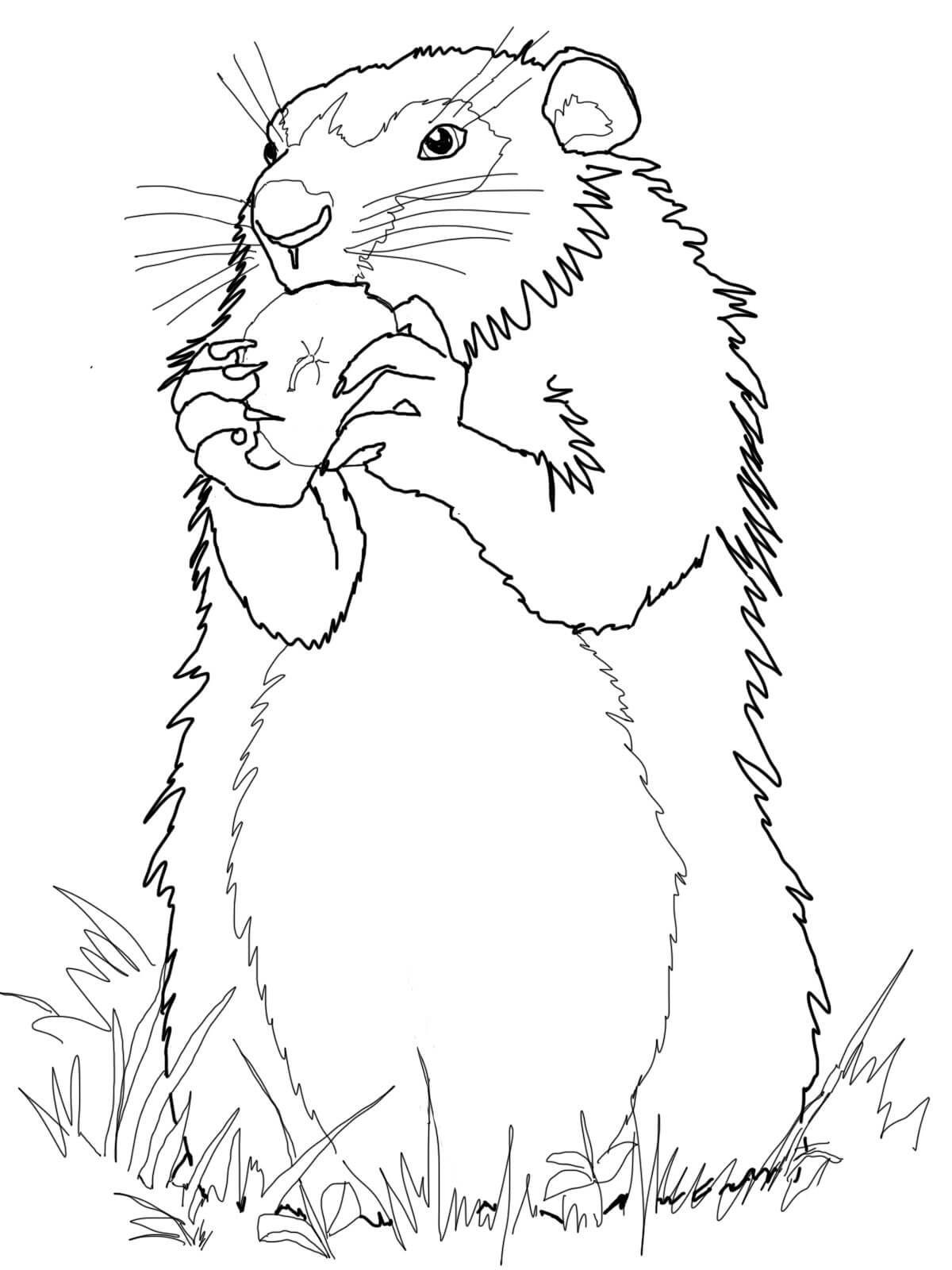 groundhog pictures to color groundhog coloring page animals groundhog to pictures color